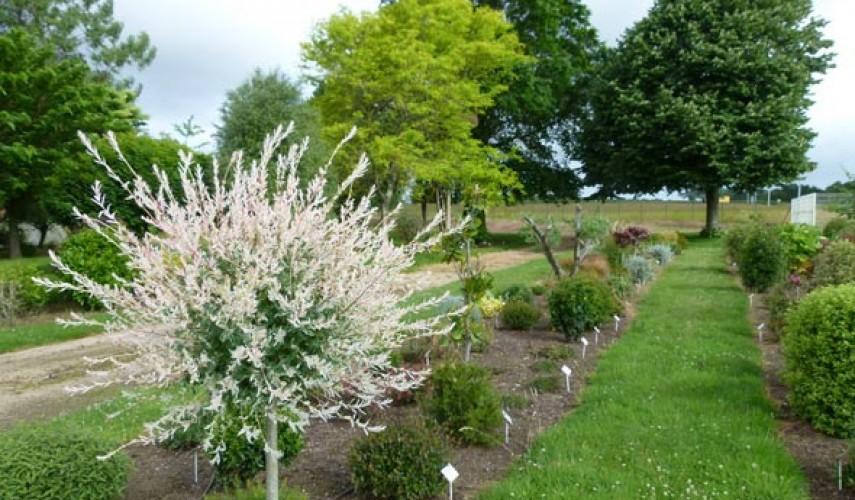 выращивание ивы хакуро нишики