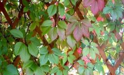 Желтые, зеленые, багряные: прелесть и разнообразие сортов девичьего винограда
