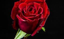 Самые эффектные сорта красных роз для вашего участка