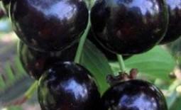 Вишня превосходных вкусовых качеств: сорт Крупная черная