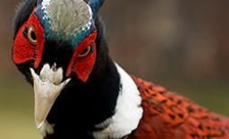 Фазаны на частном подворье: разведение и выращивание. Условия содержания птиц