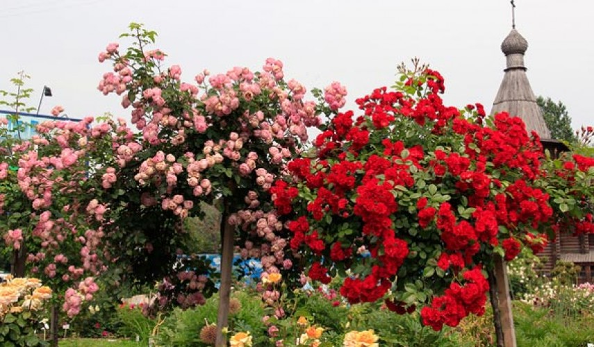 выращивание штамбовой розы