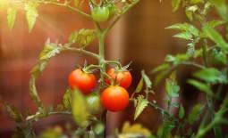 Как распознать основные болезни томатов и определить, что растения атакуют вредители: признаки и способы борьбы