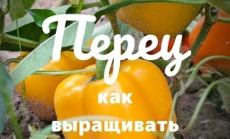 Выращивание сладкого болгарского перца