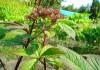 выращивание роджерсии