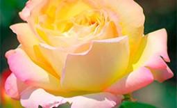 Уникальный гибрид чайных роз – Глория Дей
