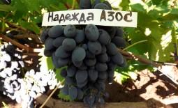 Виноград темно-синий Надежда АЗОС. Основные свойства, агротехнические рекомендации