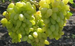 Классификация и обзор самых вкусных сортов винограда