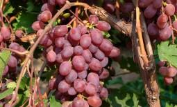 Виктория – популярный холодоустойчивый виноград. Внешний вид кустов и урожая, плюсы, минусы, правила ухода