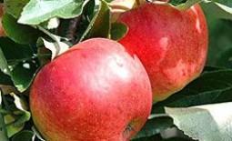 Чем отличаются сорта яблони чемпион, слава победителям, синап орловский?