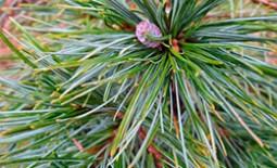 Сосна веймутова — великолепное растение со многими достоинствами