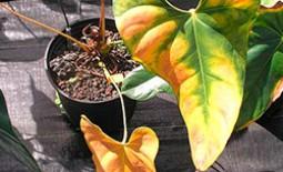 Лечим антуриум: болезни листьев и способы борьбы с ними