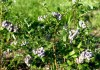 садовая голубика в подмосковье