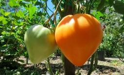 Ретро сорт Сердце Ашхабада. Описание проверенного временем томата, рекомендации по агротехнике и отзывы