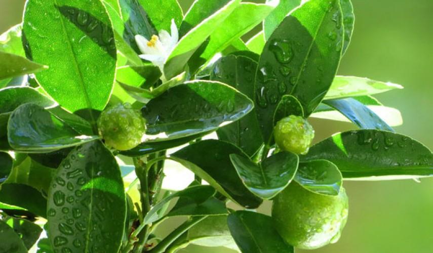 выращивание цитрофортунеллы