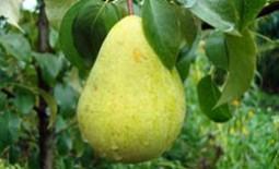 Чем груша чижовская отличается от других сортов?