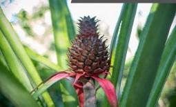 Ананас –  аппетитный фрукт, спелая ягода, экзотический овощ или необычная трава?