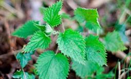 Зеленое удобрение на основе крапивы: его польза, приготовление и использование