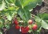выращивание ремонтантной клубники