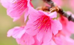 Как вырастить дерево сакуры в домашних условиях