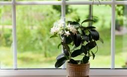 Стефанотис или свадебный цветок: как вырастить культуру в домашних условиях