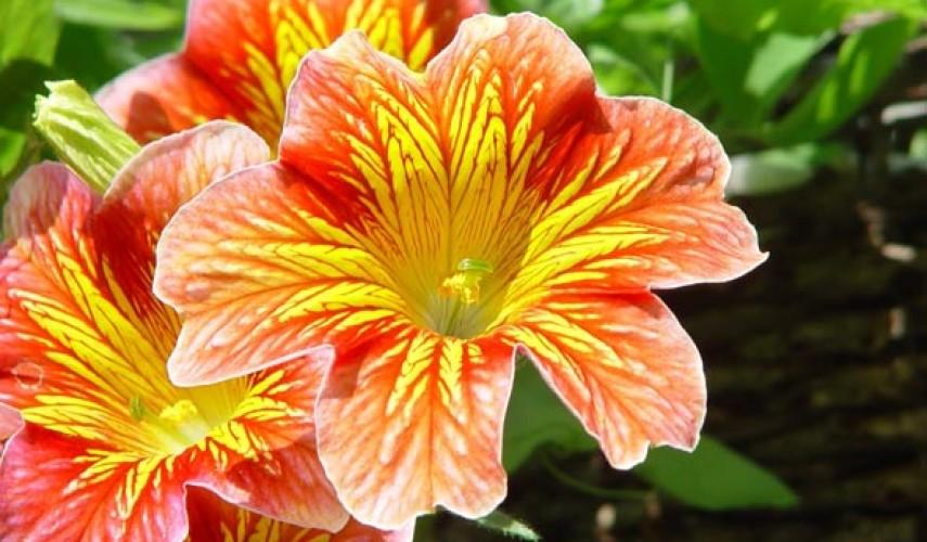 выращивание сальпиглоссиса