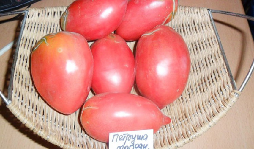 Сорт томатов Петруша-огородник
