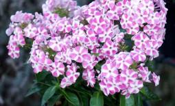 Нежный цветок флокс метельчатый: описание, сортовое разнообразие, особенности выращивания