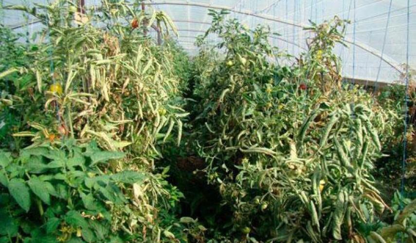 скручиваются листья томатов