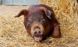 Дюрок – мясная порода краснощетинных свиней
