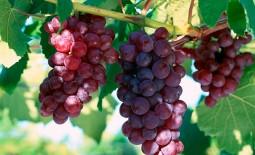 Виноград среднего срока созревания Лидия. Рекомендации по высадке и уходу