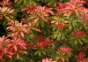 пиерис японский в саду