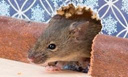 Борьба на практике: изгнать и обезвредить мышей