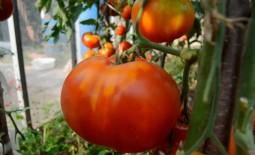 Томат-гигант Шунтукский великан: описание, правила выращивания, плюсы и минусы культуры, мнения садоводов