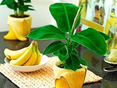 Как в домашних условиях вырастить банановое дерево из покупного банана