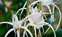 Исмена: описание растения, выращивание, уход в открытом грунте