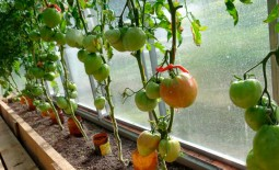Сладкое чудо: тонкости выращивания сахаристых томатов. Подробное описание культуры