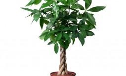 Растение пахира: как вырастить мини-баобаб в домашних условиях