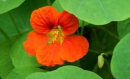 Как вырастить настурцию из семян и когда нужно ее высаживать