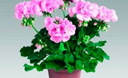 Что использовать для подкормки герани, чтобы растение пышно цвело