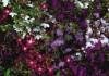 Лобелия в саду