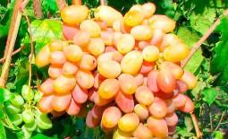 Виноград из Кубани – Виктор. Внешний вид, положительные и отрицательные качества, правила высадки, уход