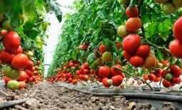 Ультраранний томат Агилис: подробное описание, агротехника, отзывы огородников