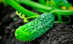 Как и чем удобрять огурцы. Особенности подкормки растений в открытом грунте