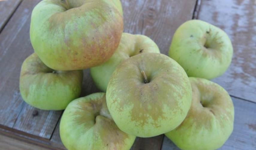 Яблоня сорта Богатырь