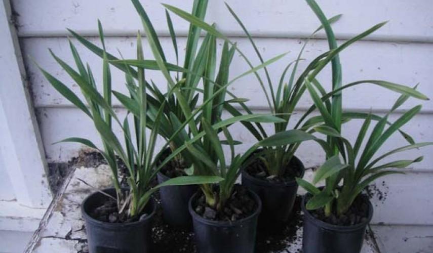 Выращивание цимбидиума