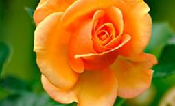 Оранжевой окраски розы — символ любви и яркий акцент в саду
