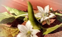 Причины опадания цветков и завязи перцев. Методы решения проблемы