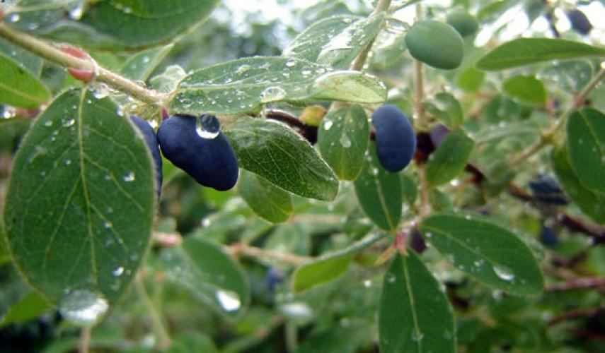 выращивание жимолости съедобной