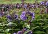 выращивание флокса метельчатого